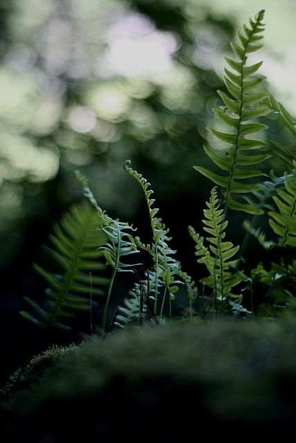 Planted lots of ferns along the periphery of the land last summer.   So looking forward to the Spring and seeing them come along.   ~sandra de~: