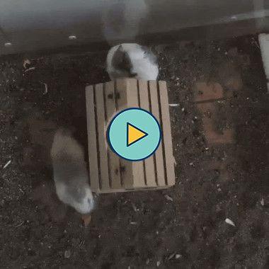 o hamster fico doidinho
