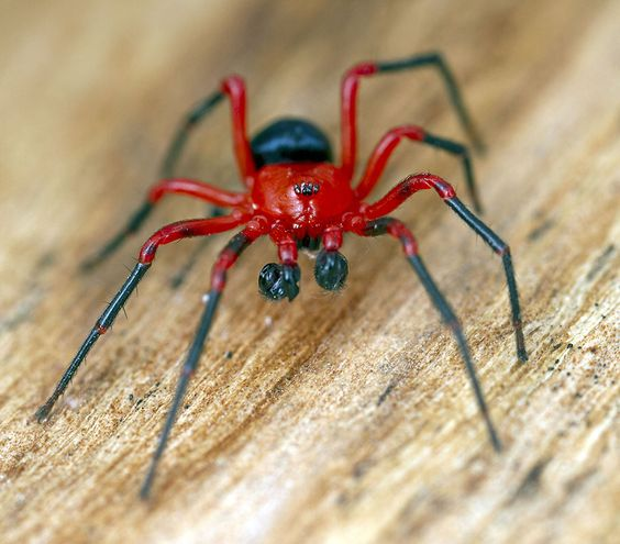 Red-and-Black Spiders