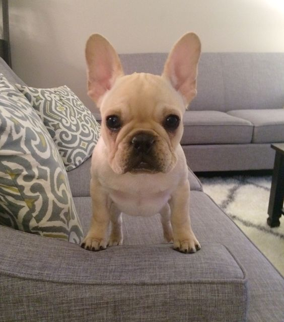Frenchie puppy. Cream fawn french bulldog puppy.