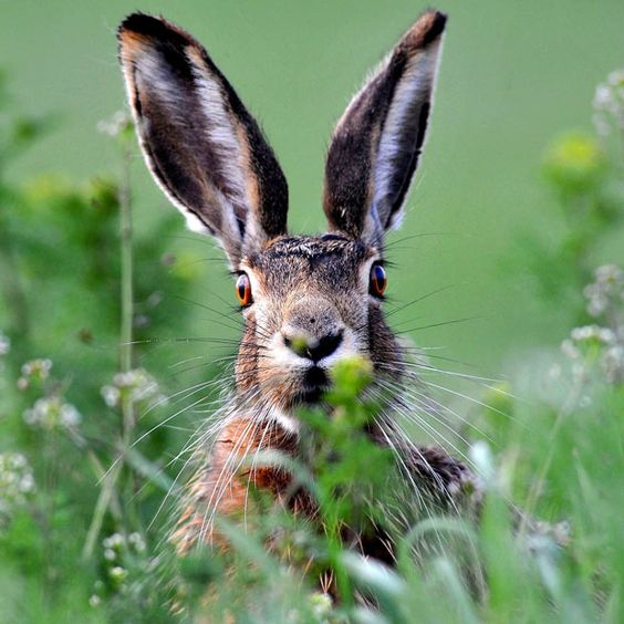 A brown hare (Lepus europaeus) pricks up its ears in a field in Hegyeshalom, west of Budapest, Hungary
