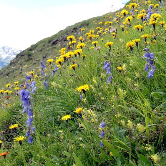 Die Bärtige Glockenblume (Campanula barbata) in einer Almwiese im Blau-Gelb-Komplementärkontrast
