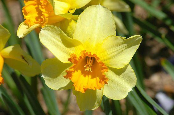Flor de narciso.