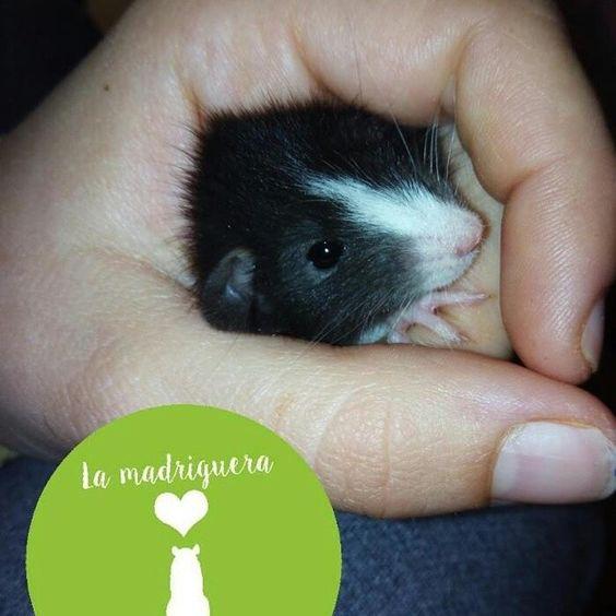 Otro de los bebés de Noa y Chetto con 19 días #instarat #ratagram #rats #ratas #ratitas