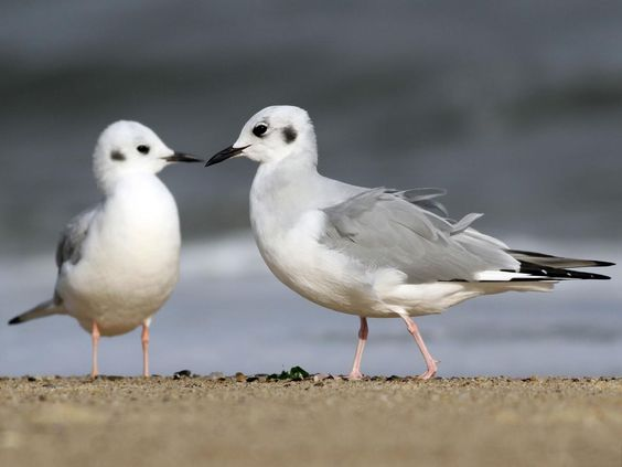 Photos and Videos for Bonaparte's Gull, All About Birds, Cornell Lab of Ornithology
