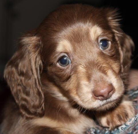 Miniature Long Haired Dachshund Puppies For Sale Dachshund Puppies For Sale Dachshund Puppies Dachshund Puppy Long Haired