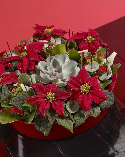 Kompozycja Z Gwiazdy Betlejemskiej Poinsecja I Eszewerii Rosliny Doniczkowe Modne Zima Plants Succulents