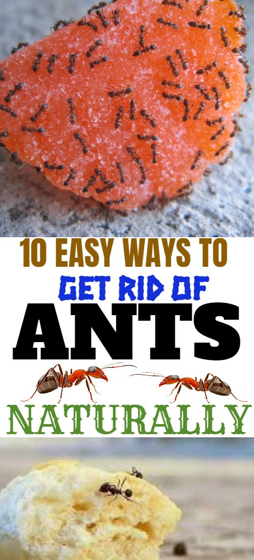 Here are 10 ways you can rid your home and garden of Ants without causing harm to pets, children or the environment. Ants will always find a way to come around because we eat the same foods they eat. Use these ways to get rid of them. The harder they come the harder they fall, one and all ants. #ants #getridofants #repelants #antsdeterrent #naturalinsecticide #howtogetridofants #hometips #tipsandtricks #hacks #gardeninghacks #cleaninghacks #gardenhacks #tipsandtricks