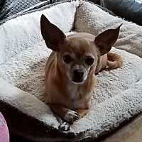 Dayton Ohio Chihuahua Meet Lady A For Adoption Https Www Adoptapet Com Pet 28353854 Dayton Ohio Chihuahua In 2020 Pet Adoption Chihuahua Pets