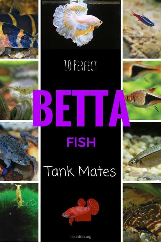 Ready to add a tank mate for your betta fish today make for Tank mates for betta fish