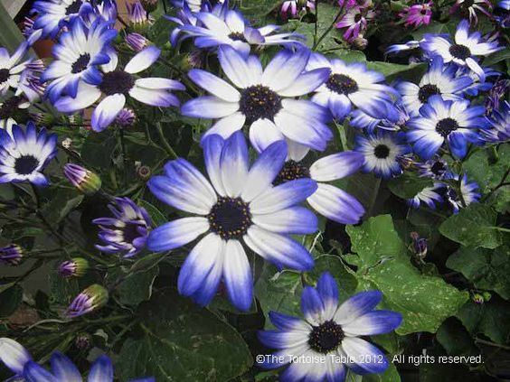 Cineraria Asterceae -Often associated with joy and longevity.