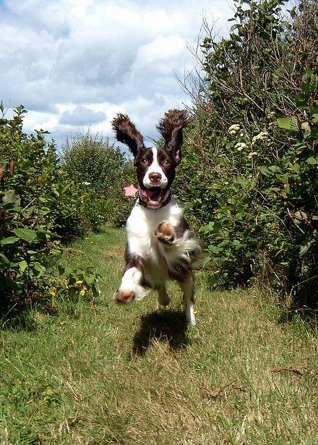 LOVE spaniels!!! Springing Springer  Stella, 2003.~ love this photo.