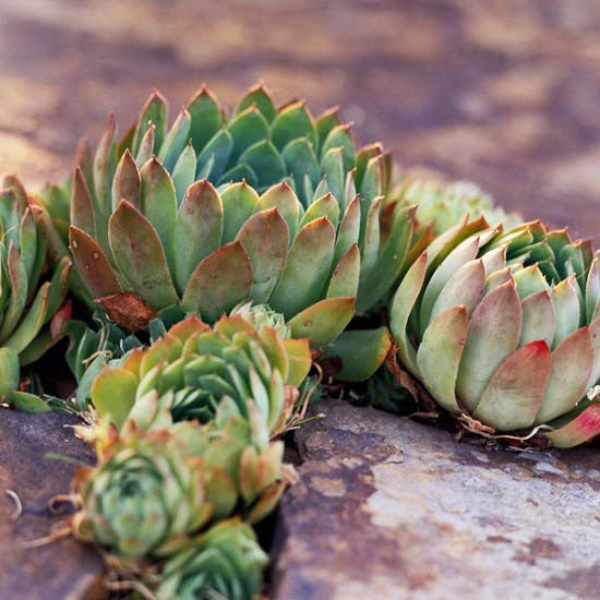 Hens and Chicks are perfect for adding a punch of color in the tiniest places. Try planting them along your patio or flagstone path.