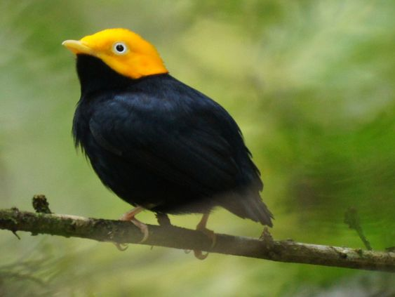 family Pipridae - manakins - Golden headed manakin