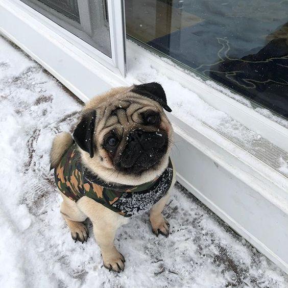 Really? I'm freezing and you need to take a picture? #pugsofinstagram #puglove #puglifemag #pug #pugs #puglife #pugnation #pugscorner #igerspuglia #pugchat #puglive #puglive #puglover #pugmania #pugstagram #pugoftheday #pugoftheday #pugface
