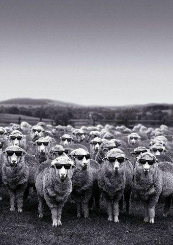 SOL sheeples