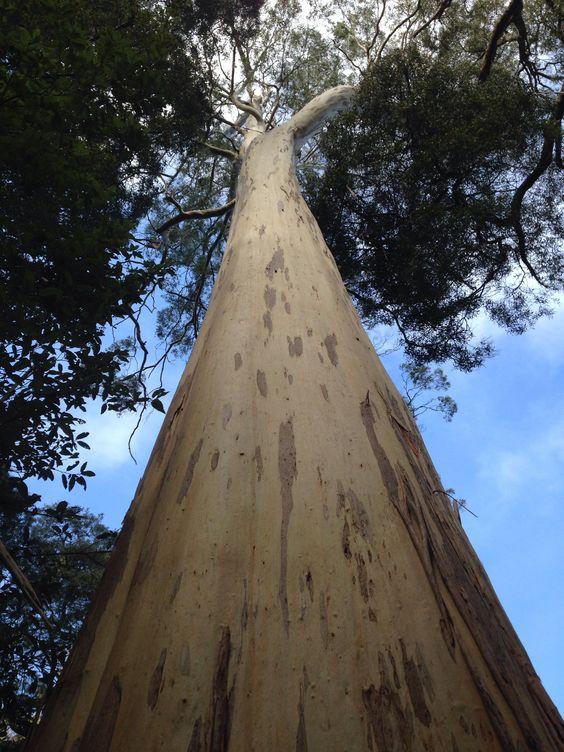 10 تا از بلندترین درختان جهان