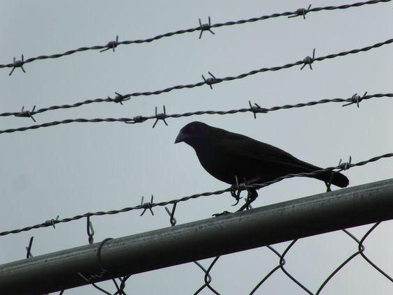 """A Crow And A Fence by José Miguel S on 500px  """"Cuervo sobre una barda enrejada.""""  #animal #ave #bird #crow #cuervo #faunaurbana #fence #reja #urbanfauna #500px #500pxpopular"""