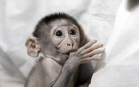 Filhote de macaco abandonado pela mãe e tratado em zoo francês