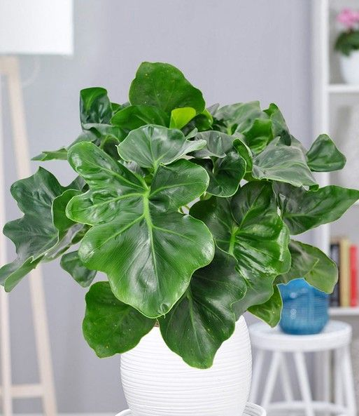Philodendron 'Atom'