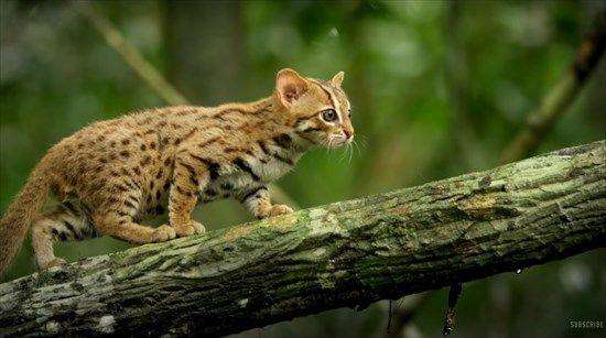 世界最小のネコ科 サビイロネコ の森を散策する貴重な映像が話題に せかch 子猫 猫 品種 ネコ科
