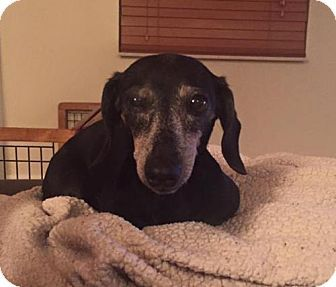 Still listed: Sept. 20, 2016. Weston, FL - Dachshund. Meet Faye, a dog for adoption…