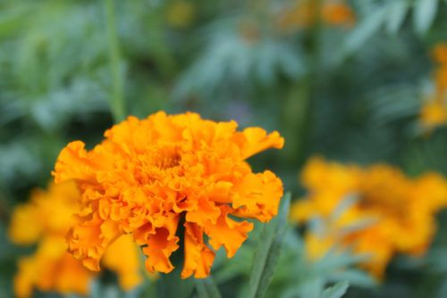 Fiori Arancioni.Fiori Arancioni Ideali Per Portare Colore Nel Giardino Autunnale