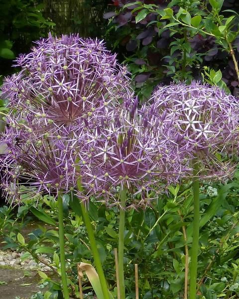 Allium Christophii In 2020 Allium Flowers Bulb Flowers Indoor Flowering Plants