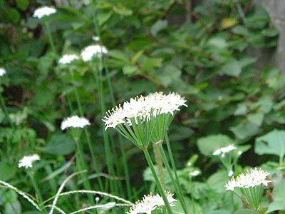 Flores de puerro