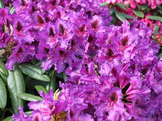 Rhododendron 'Mogambo' - Rhododendron Hybride 'Mogambo'