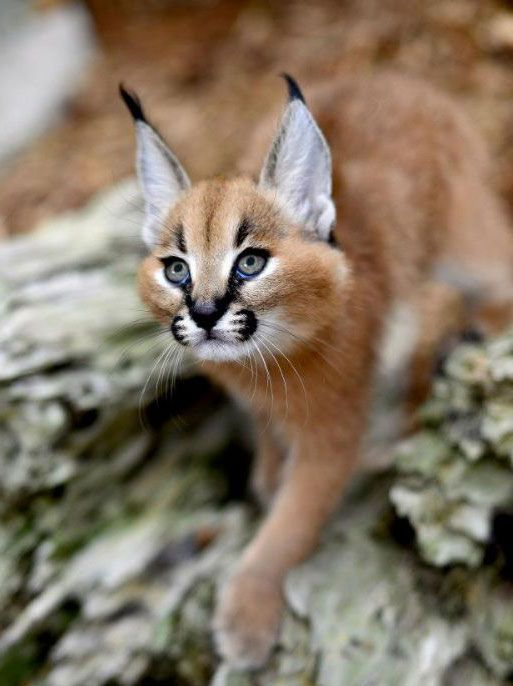 Caracal For Sale With Images Animals Caracal Cat Pets For Sale