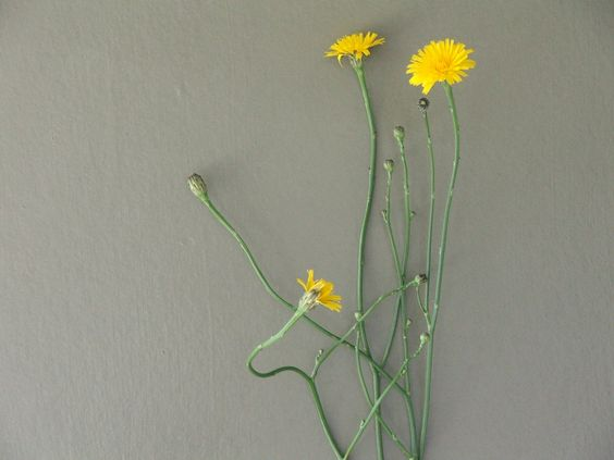 https://flic.kr/p/dx9rZW | hawkweed | summer wildflower...