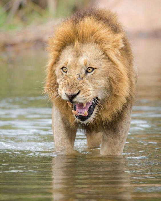 . Photography by @ (Marlon du Toit). Lion do not like water all. As this male…