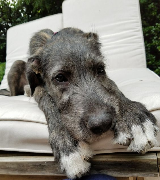 """Examples of """"wolfhound"""""""