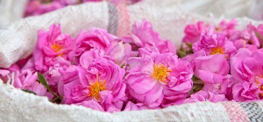 Aus diesen Blüten wird das erste Rosenöl in Bioqualität in Afrika überhaupt gewonnen.
