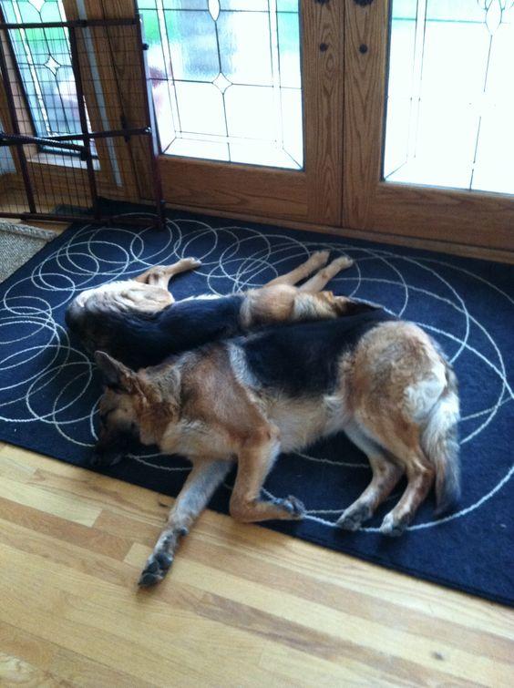 Watch dogs!  Sleeping on the job.  Beautiful German Shepards