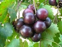 Muscadines...24 different varieties.  Ison's has supplies and information on anything to do with muscadines.  Excellent description of all plants.  They also have many other fruit vines/trees/plants.