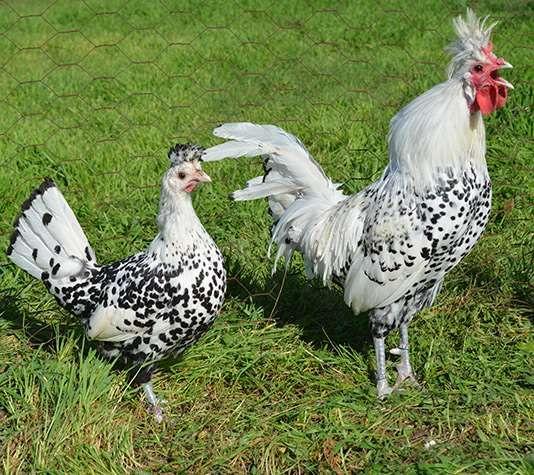Appenzeller Hen And Rooster Rare Chicken Breeds Chicken