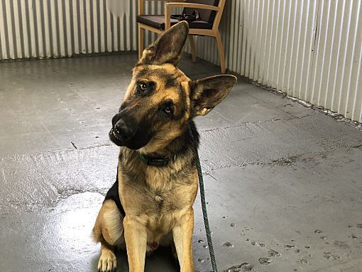 Chicago Il German Shepherd Dog Meet Churro A Dog For Adoption