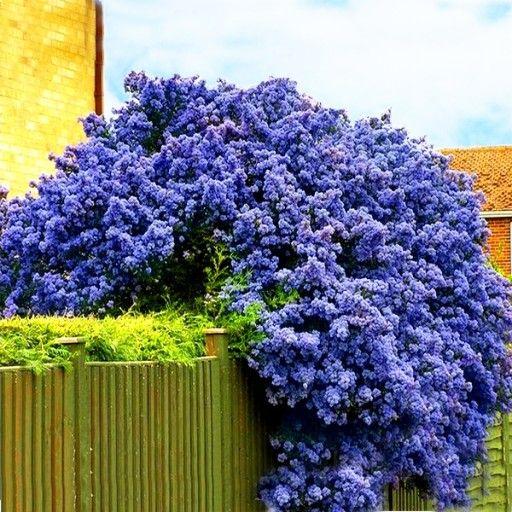 Niebieski Zimozielony Prusznik Victoria Sadzonki 7847277382 Oficjalne Archiwum Allegro Plants Flower Garden Garden Design