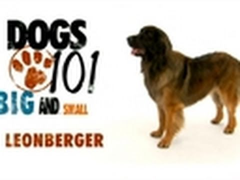 DOGS 101 - Leonberger (Animal Planet)