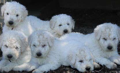 komondor pups