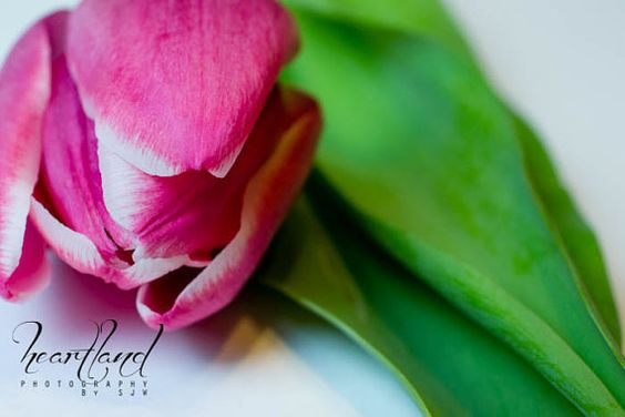 Pink Tulip - Flower Photography on Etsy