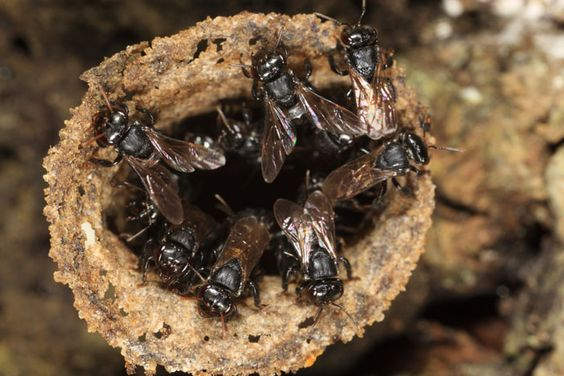 Entrada de nido de Scaptotrigona mexicana