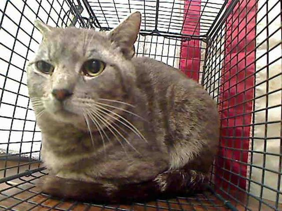 URGENT ID#A449310  I am described as a male, silver tabby Domestic Shorthair mix.  The shelter thinks I am about 1 year.  I have been at the shelter since May 15, 2015 and I may be available for adoption on May 22, 2015 Moreno Valley, CA