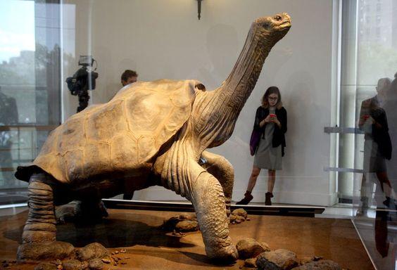 Einsam in New York: Rund zwei Jahre nach ihrem Tod ist die Riesenschildkröte «Lonesome George» nun einbalsamiert in New York zu sehen. Am New Yorker Central Park wird der Körper des vermutlich mehr als 100 Jahre alt gewordenen «Einsamen George» in einem eigenen Erkerraum mit Blick auf die Skyline Manhattans zu sehen sein. «Lonesome George» war 1971 auf den Galápagos-Inseln vor Ecuador entdeckt worden und hatte lange als letzter Vertreter seiner Unterart gegolten. (Bild: dpa)