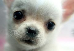Baby Face Chihuahua