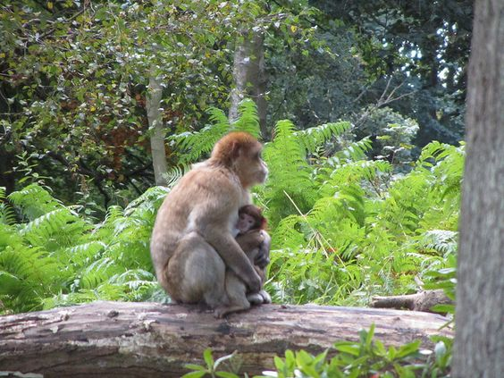 Great photos of barbary apes at Trentham Monkey Forest (Stoke, Staffs, UK)