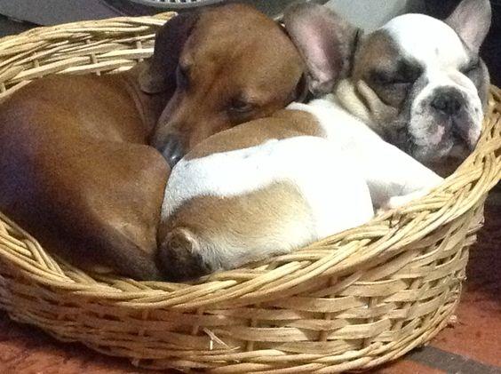 Pancho y Simón. Salchicha y bulldog! Ja ja