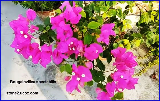 انواع نبات الجهنمية او المجنونة او البوغنفيلية او البوغنڤيليا Bougainvillea قوائم النبات قوائم النبات معلومات نباتية وسمكية معلومات Bougainvillea Plants